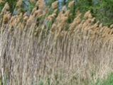 Phragmites Opens in new window